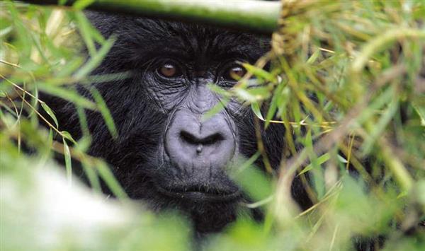 Gorilla trekking – and the hidden gem that is Uganda